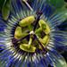 Blue Passion Flower (P. caerulea)