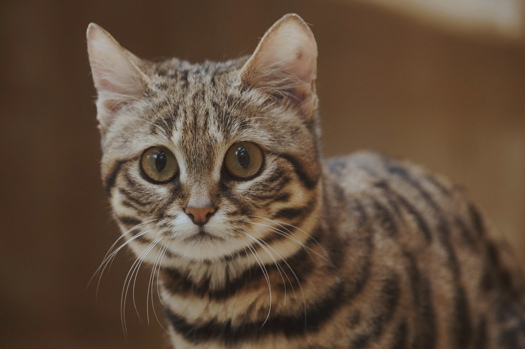White Footed Cat