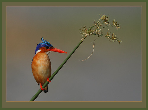 Malachite Kingfisher (Alcedo cristata) | by Rainbirder