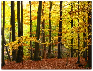 Autumn in the Beech Forest | by Habub3