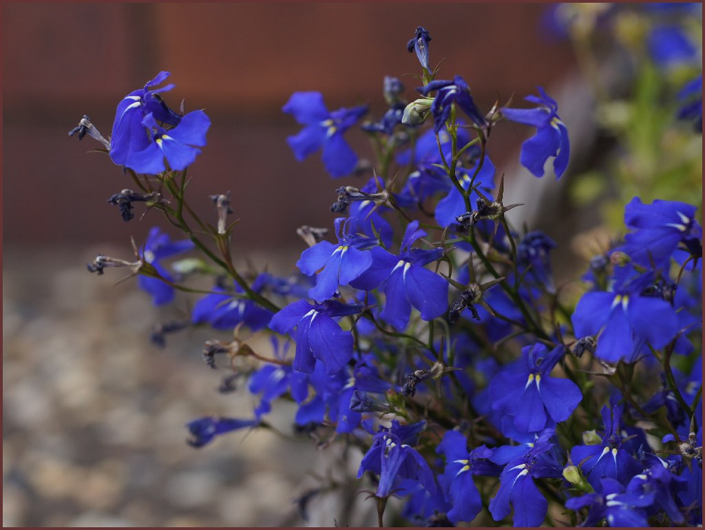 Blue Lobelia In My Garden Native To Southern Africa Tatters