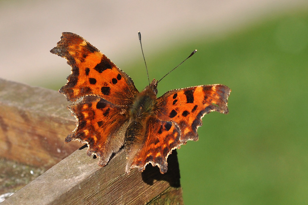 A Comma Butterfly In March First Day Of Spring Bank