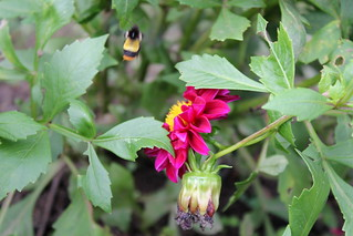 Flower with busy bumblebee | by himalayanfootsteps