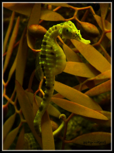 The mystically beautiful seahorse! (EXPLORED!) | by alphacentauri (I'M BACK!)