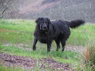 Fiona A Newfoundland Australian Shepherd Mix Here S