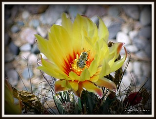 Bee on a cactus blossom | by Washigal57