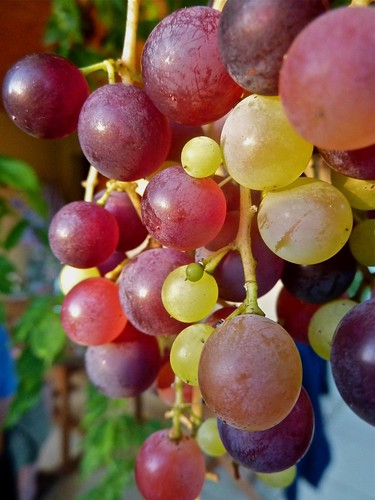 Ripening grapes | by allispossible.org.uk