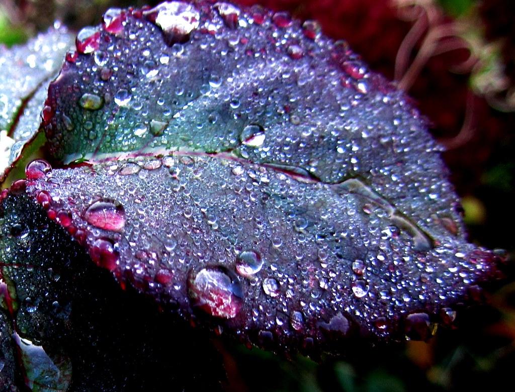 Real Blue Rose Bush