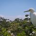 Snowy Egret surveys the land