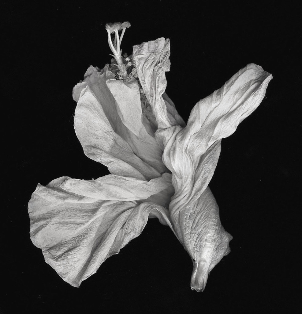 Withered hibiscus withered hibiscus flower in black and wh withered hibiscus by charlottali withered hibiscus by charlottali izmirmasajfo