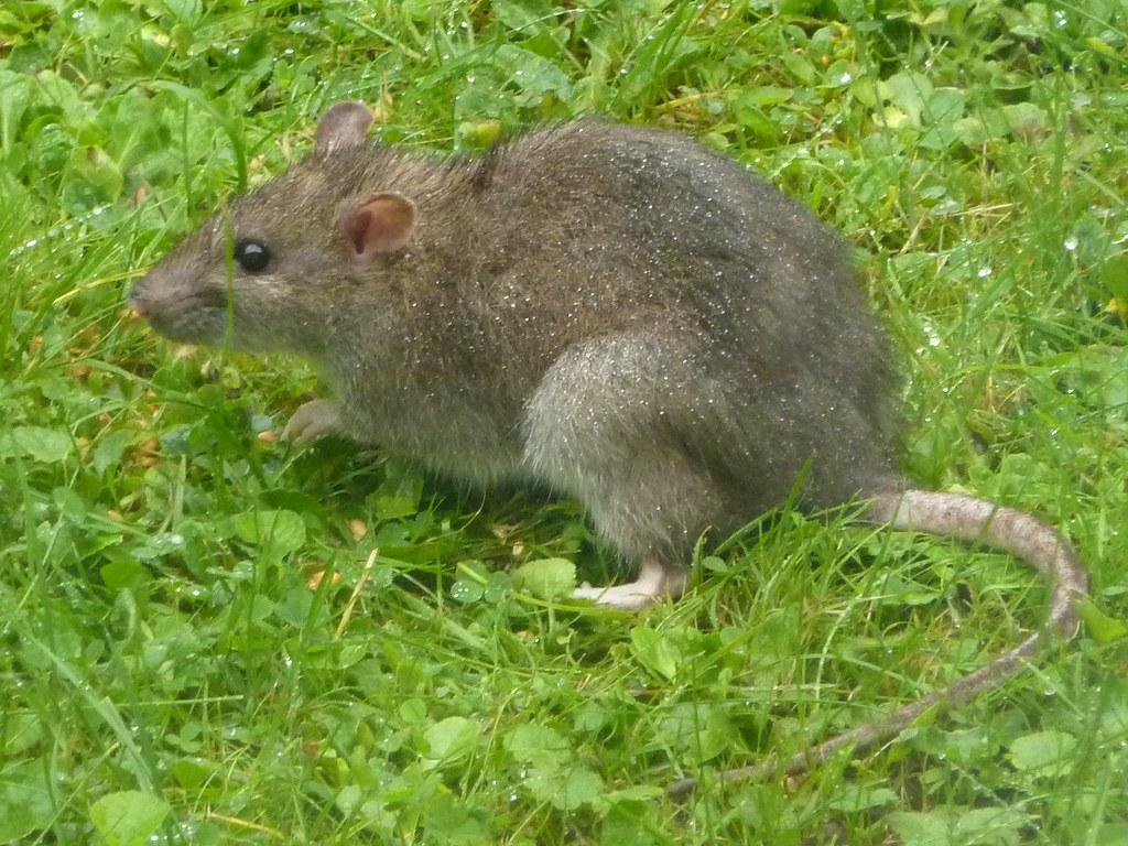 Grid Ref Finder >> Brown Rat - Rattus norvegicus 1a | Young Brown Rat Rattus no… | Flickr
