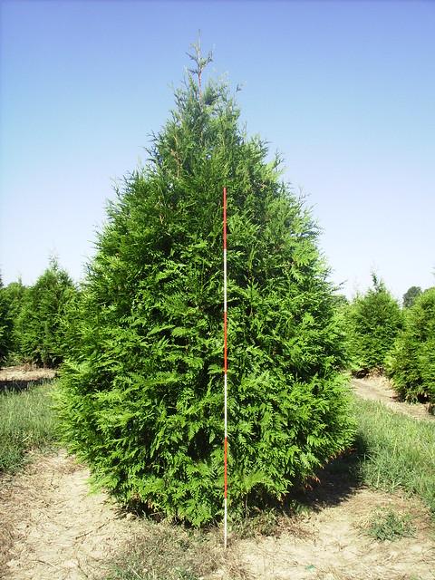 thuja green giant arborvitae trees bvonyty