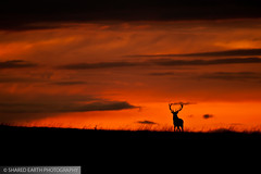 Red deer stag at sunset by Poyntonshoot Mike