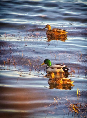 Three Mallards | by PRS Images