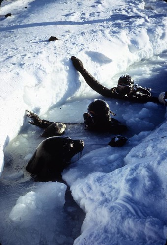 Ray and Lavallee with Weddell seals at the Palmer Peninsula, Antarctica, c. 1962 | by Smithsonian Institution