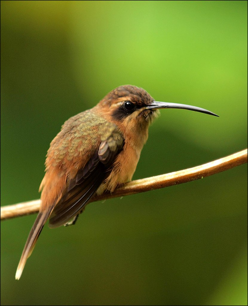 Stripe-throated Hermit Hummingbird   The first Hummingbird I ...