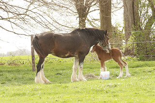 Baby Clydesdale 3-12 235Bweb | by sweeneyshawna