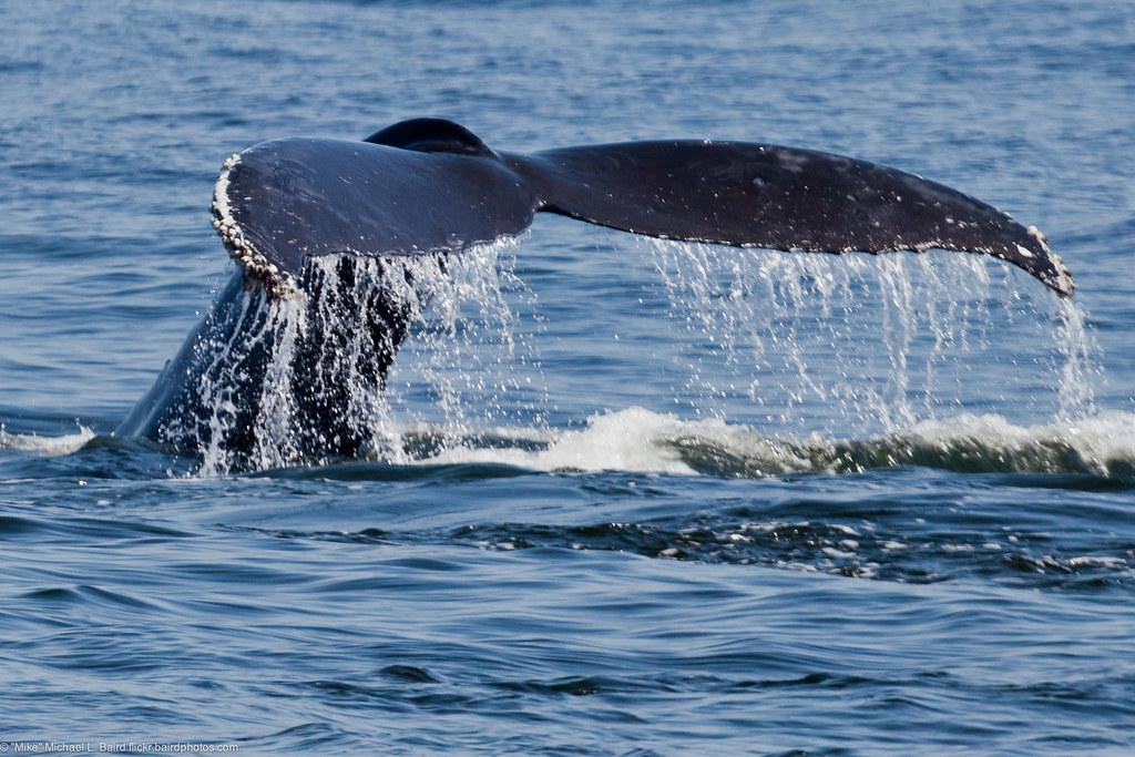 humpback whale fluke  megaptera novaeangliae
