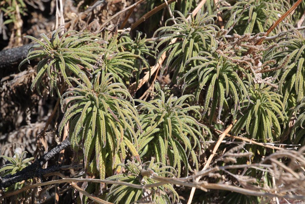 poodle-dog bush