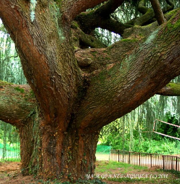 Fabuleux c dre bleu pleureur du liban top 10 des plus beaux arbres d 39 europe arboretum de la - Cedre bleu du liban ...