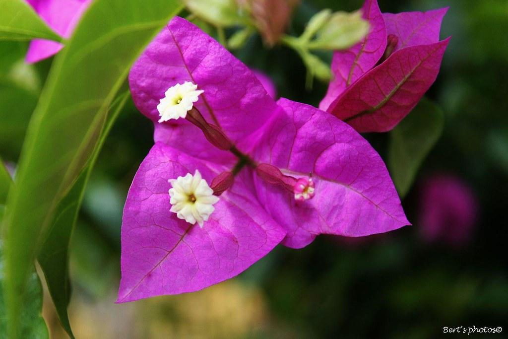 British Virgin Islands Flower
