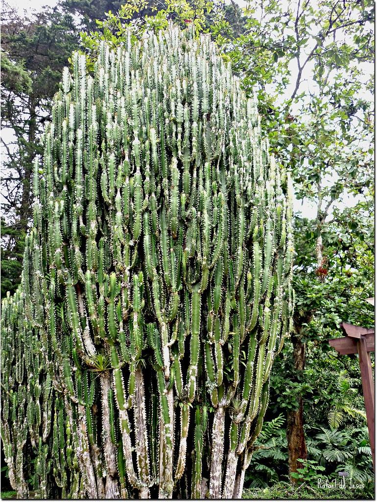 Euphorbia jardin botanico lankester cartago costa rica for Jardin lankester