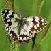Mariposa - Melanargia lachesis
