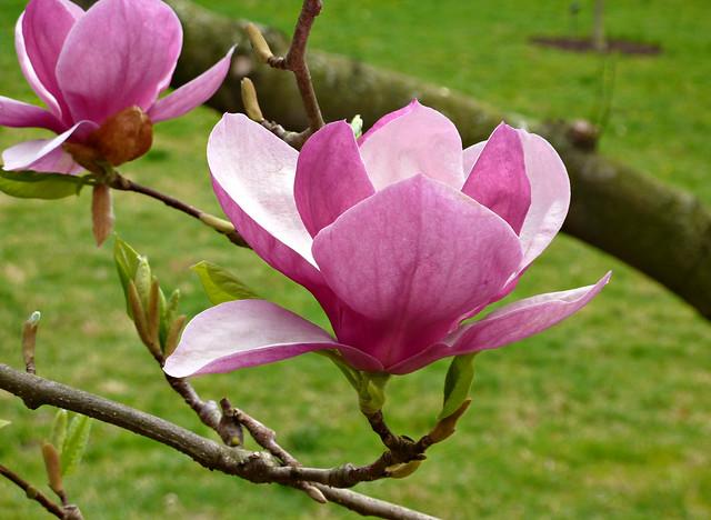 magnolia x soulangeana 39 rustica rubra 39 4 flickr photo. Black Bedroom Furniture Sets. Home Design Ideas