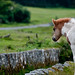 Dartmoor, Foal ~ Explored #2