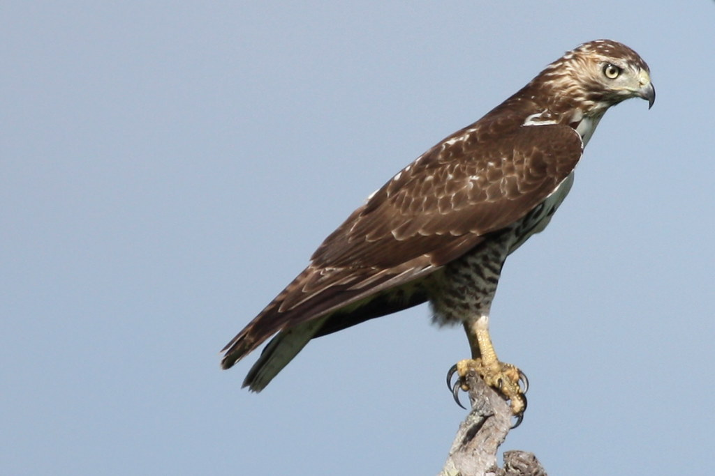 Juvenile red tailed hawk juvenile red tailed hawk buteo - Red tailed hawk wallpaper ...