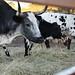 Jordan Estate cows