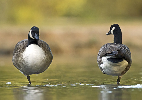 Canada-geese_5901 | by Peter Warne-Epping Forest