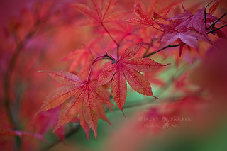 Autumn Red | by Jacky Parker Flower Photography