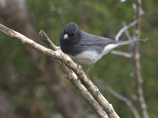 Slate-colored Dark-eyed Junco 20111112 | by Kenneth Cole Schneider