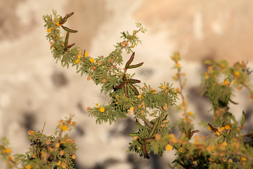 Sweet Acacia or huisache | by Geninne