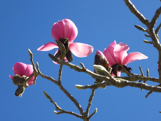 Magnolia flowers | by fotovision47