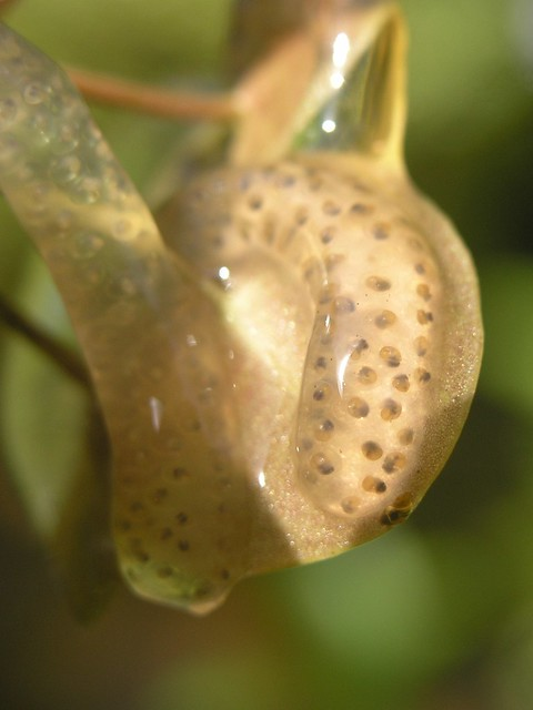 Great pond snail eggs flickr photo sharing for Garden pond snails