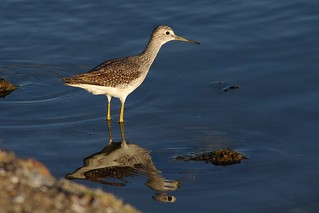 Solitary Sandpiper | by Ludger Solbach