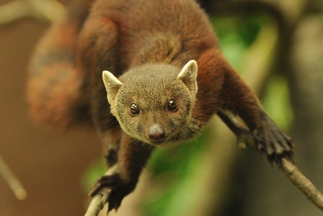 Ring Tailed MongooseRing Tailed Mongoose