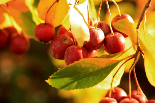 up close berries in the Fall | by BrownZelip