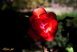 IMG_2238_Rose | by Ajax_pt/Zecaetano