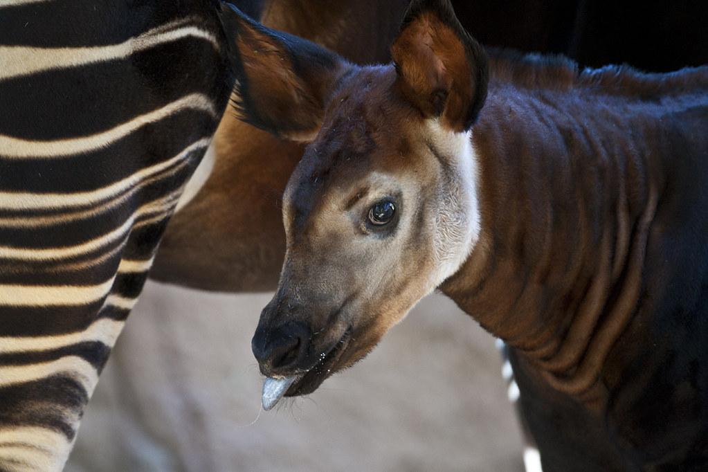 Okapi calf