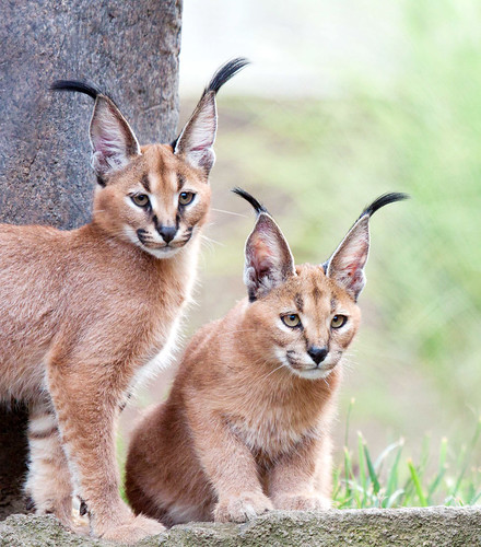 Caracal Kittens | by namra38