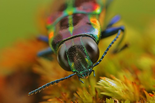 jewel beetle ? | by FISHNROBO