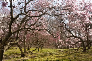 Magnolia Collection | by NYBG