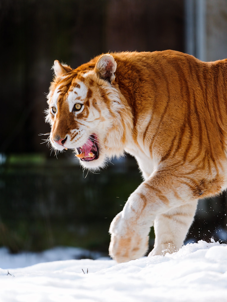 What Do Tigers Eat And Drink