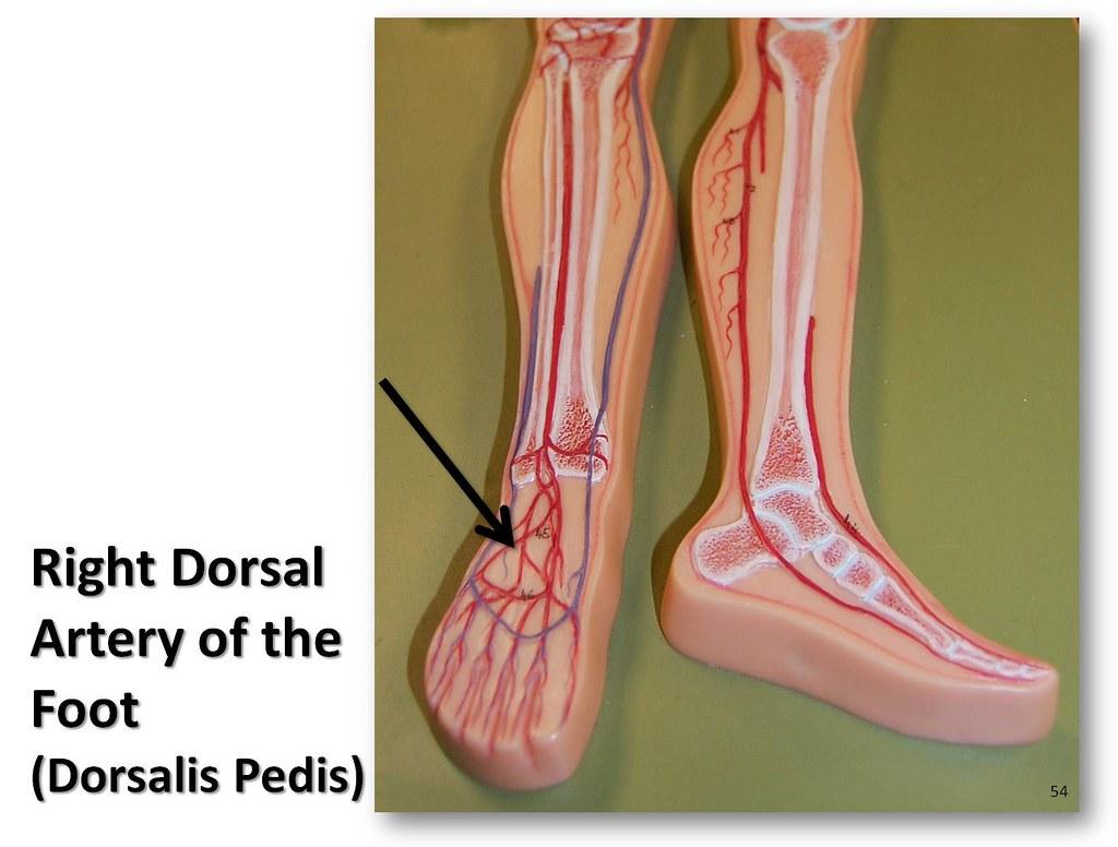 Right Dorsal Artery