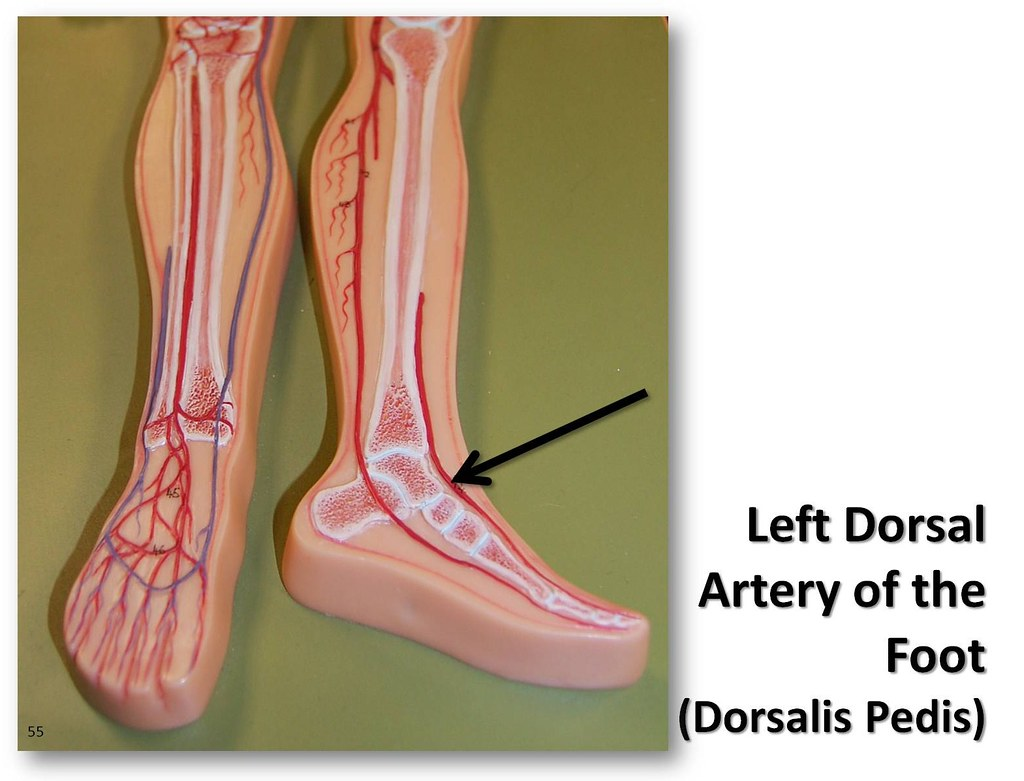 Left dorsal artery - The Anatomy of the Arteries Visual Gu… | Flickr