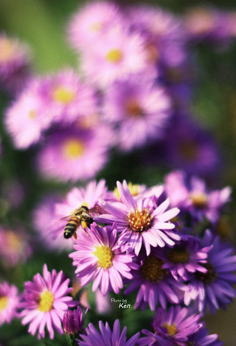Bee | by Kenny photos