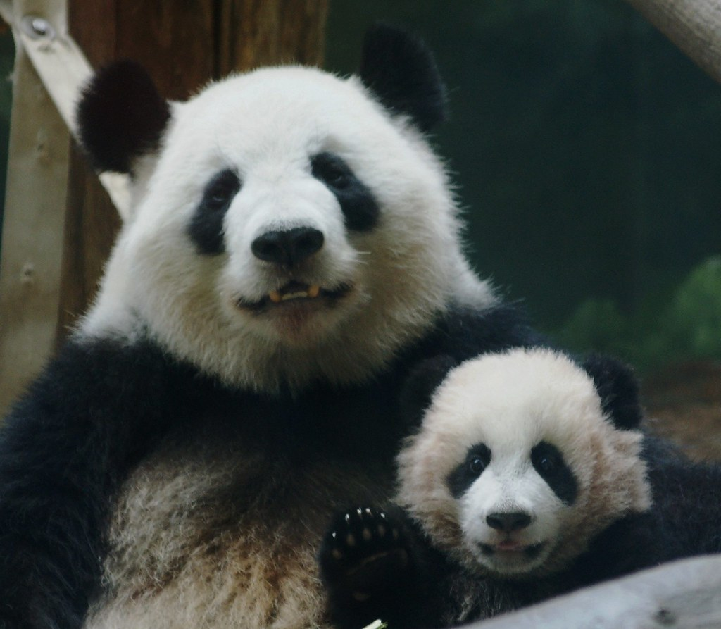 Baby Panda Smile | www.pixshark.com - Images Galleries ...